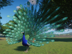 Peafowl, Indian (Planet Zoo)