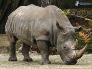 Rhinoceros, Southern White.jpg