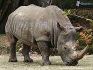 Rhinoceros, Southern White