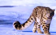 Snow-leopard-wild