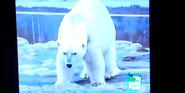 Ultimate Zoo Polar Bear
