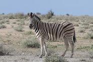 Zebra, Burchell's