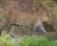 Mama Mirabelle Leopard