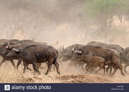Stampeding African Buffalos