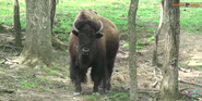 Walnut Creek Bison