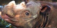 Cincinnati Zoo Sumatran Rhino