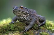 Common-toad-HRM
