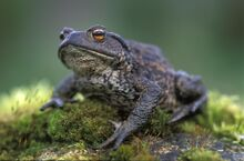 Common-toad-HRM.jpg