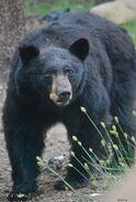 Eastern Black Bear