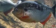 Georgia Aquarium Pirhana
