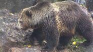 Grizzly Bear, California