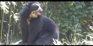 Nashville Zoo Andean Bear
