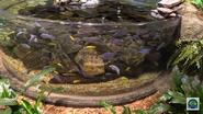 Newport Aquarium Ciclids