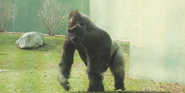 Toledo Zoo Gorilla