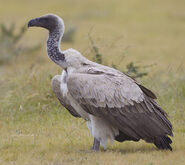 1200px-2012-white-backed-vulture