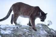 Cougar (also known as the Mountain Lion or Puma)