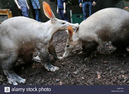 Male and Female Aardvarks