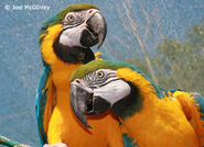 Male and Female Blue and Gold Macaws