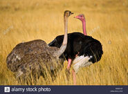 Male and Female Masai Ostriches