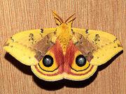 Moth, Io.jpg