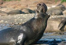 Northern elephant seal.jpg