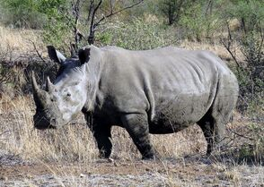 Pilanesberg Rhino.JPG