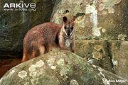 Rock Wallaby, Proserpine.jpg