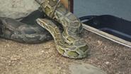 Seneca Park Zoo Python