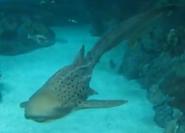 Toledo Zoo Zebra Shark