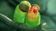 Male and Female Lilian's Lovebirds