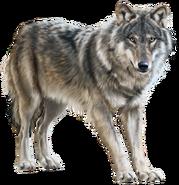 NatureRules1 Wolf