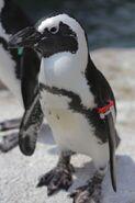 Penguin, African
