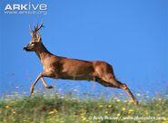 Roe-deer-buck-running-during-rut