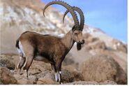 Siberian Ibex Billy