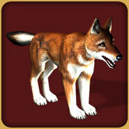 WolfEthiopian Adult M