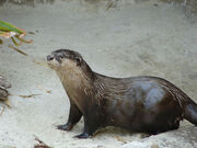 African Clawless Otter.jpg