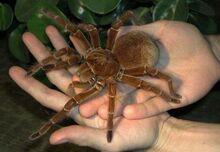 Brazilian-Giant-Tawny-Red-Tarantula.jpg