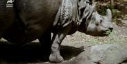 Bronyx Zoo TV Series Indian Rhino