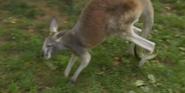 Bronyx Zoo TV Series Kangaroo