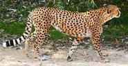 Chester Zoo Cheetah