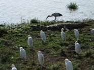 Crocodiles and Egrets