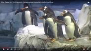 Detroit Zoo Gentoo Penguins