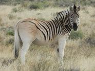 Equus quagga quagga