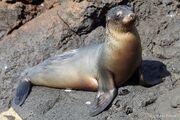 Galapagos-sea-lion-basking.jpg