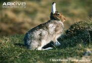Hare, Mountain