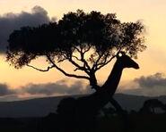 HugoSafari - Giraffe05