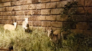 Rolling Hills Zoo Saigas
