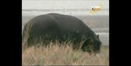Scout's Safari Hippo