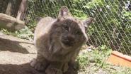 Seneca Zoo Lynx
