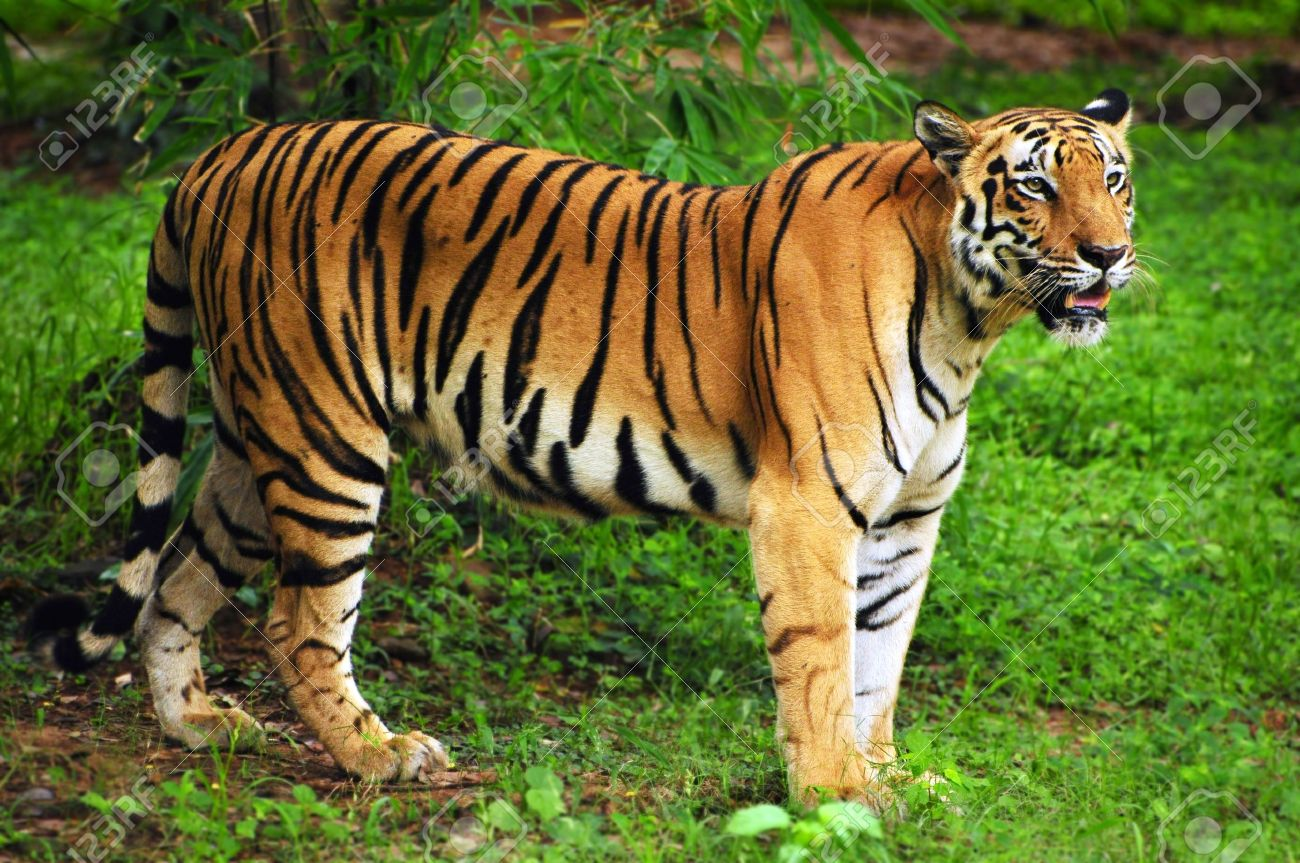 Mainland Asian Tiger
